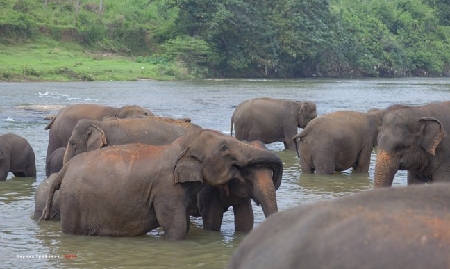Купание слонов в Pinnawala Elephant Orphanage