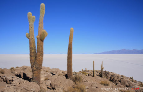 Cacti on the Isla del Pescado in Bolivian Salar de Uyuni