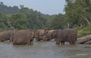 Приют слонов в Пиннавеле