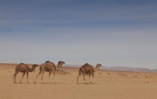 Верблюды в Сахаре в окрестностях М'Хамид